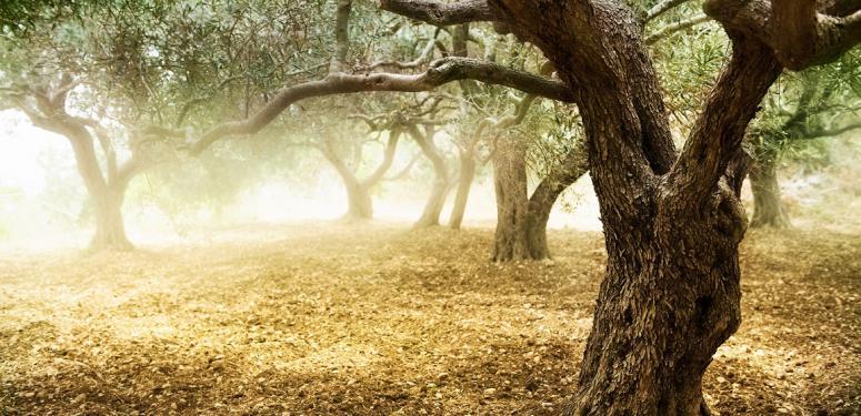 【歴史雑学】オリーブの木とオリーブオイルにまつわる歴史と雑学