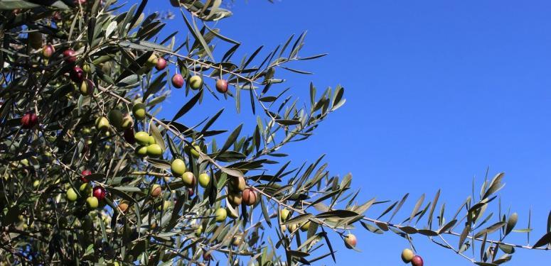 【食欲の秋】オリーブオイルは秋の味覚を深める食材